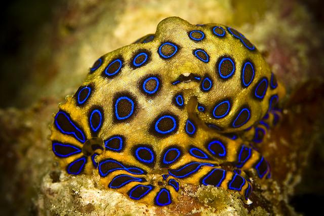 22. Синекольчатый осьминог – еще один маленький ядовитый обитатель морей и смертельно-опасный. Смерть может наступить в течении получаса.