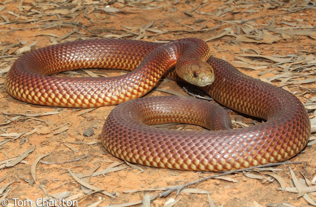 4. Укус змеи мулги редко, но все же может закончится летальным исходом.