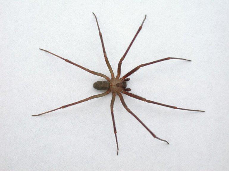 5 Укус коричневого паука-отшельника вызывает тошноту, рвоту и ужасный некроз тканей. Для детей или людей с ослабленным иммунитетом яд паука особо опасен.