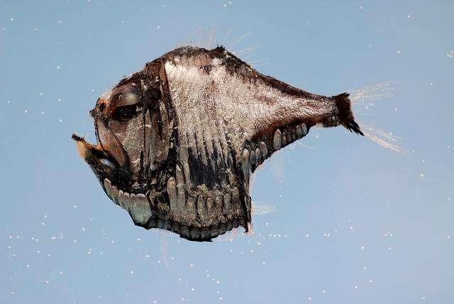 9. Рыба топорик обитает во всех океанах на глубине от 180 до 1470 метров.