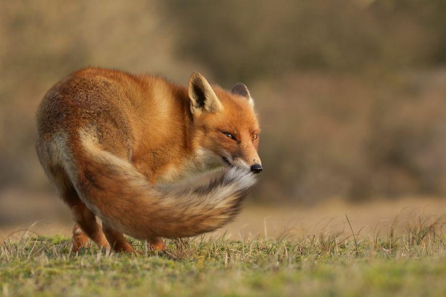 1. Застенчивый лис.