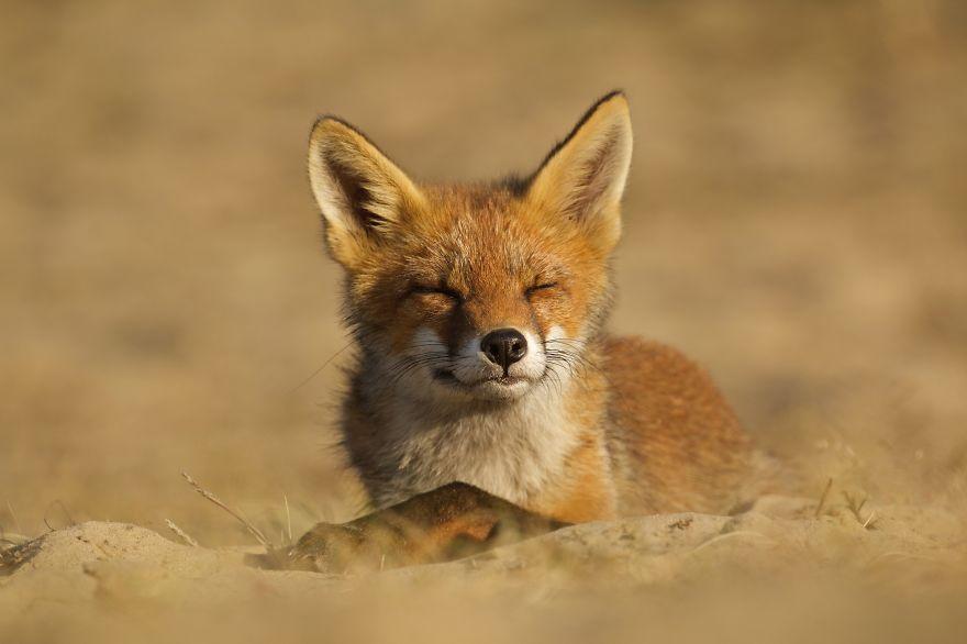 6. Молодой лис наслаждается вечерним солнцем.