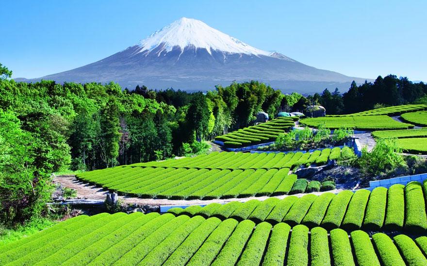 15. Чайный сад с видом на гору Фудзи