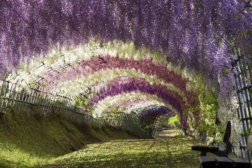 3. Туннель из глициний Вистерия в саду цветов Кавати Фудзи.
