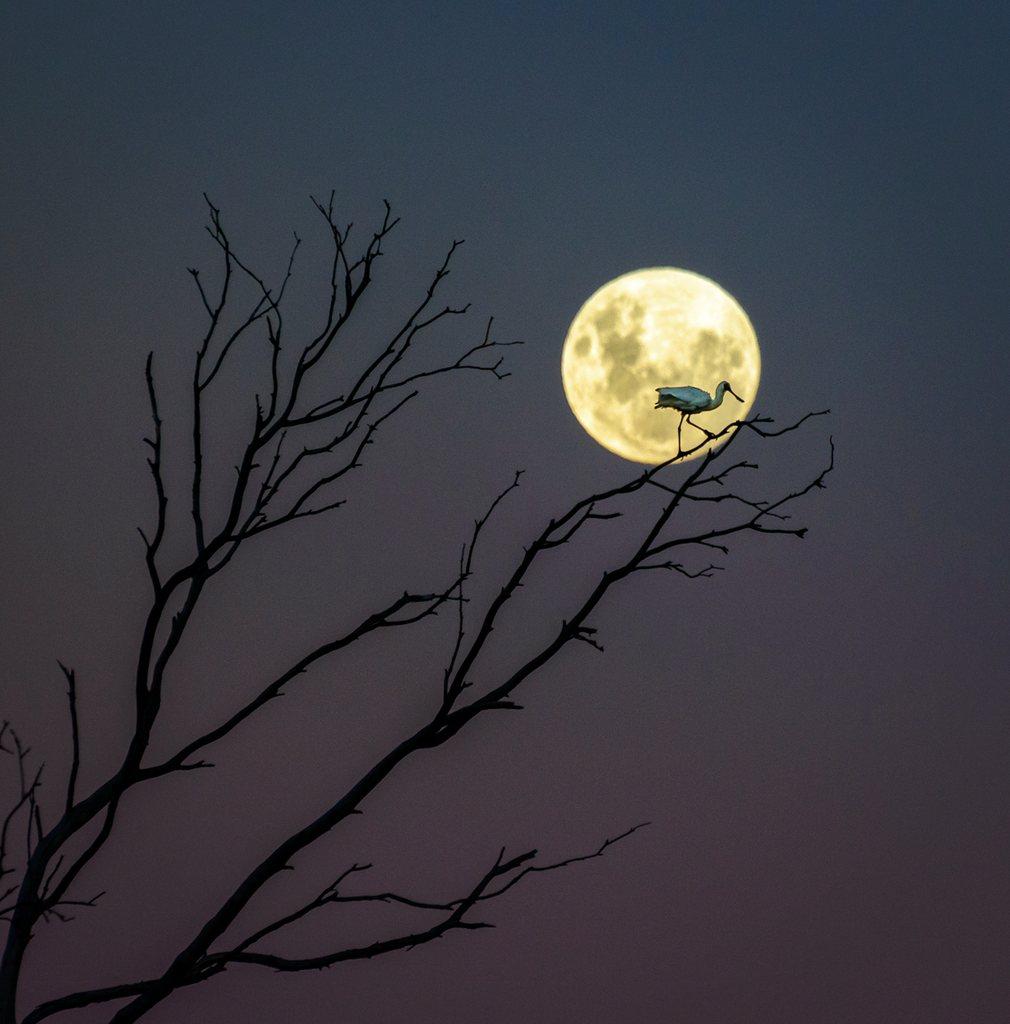 4. Эндрю Колдуэлл (Новая Зеландия) - Вилка, ложка и Луна. Королевский Спунбилл сидит на ветке при свете луны.