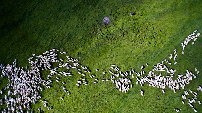 8. Эти овечки заняли второе место в категории Живая природа.