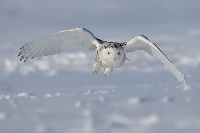 3. Белая сова.