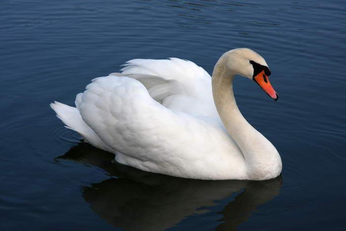 6. Лебедь-шипун.