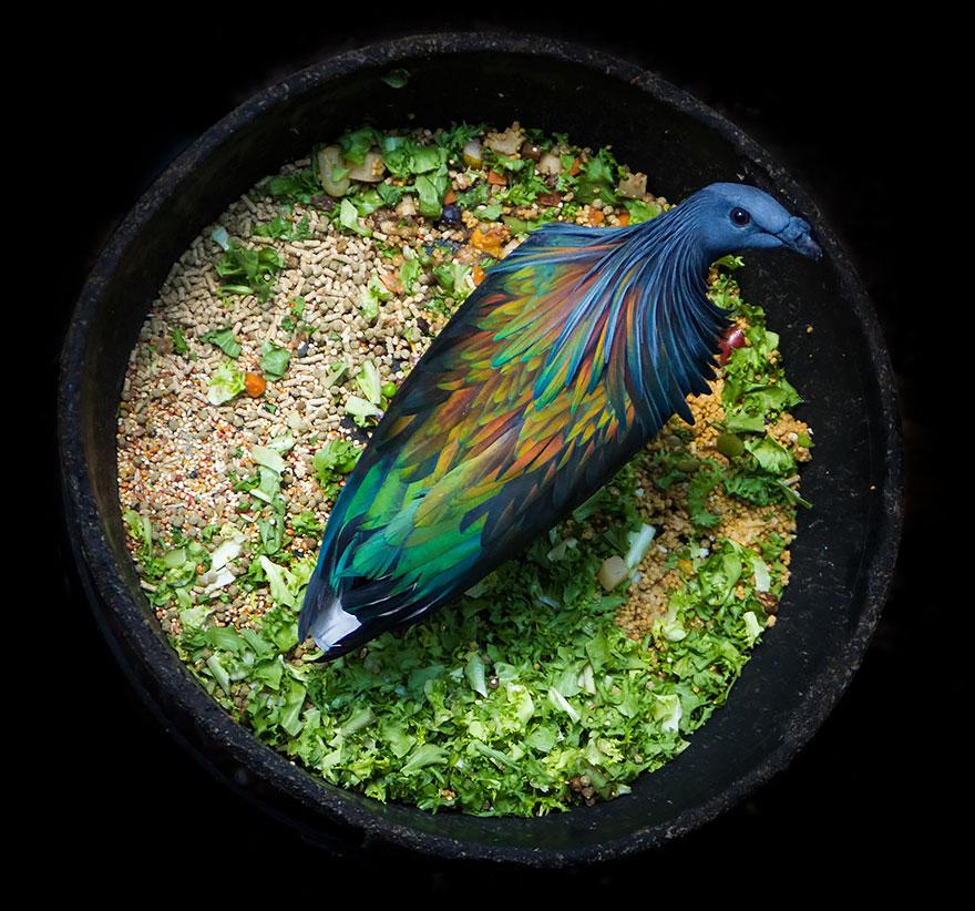 9. Гривистый голубь — последний ныне обитающий вид гривистых голубей.