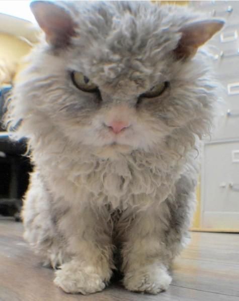 4. Альберт – кот породы Селкирк Рекс.