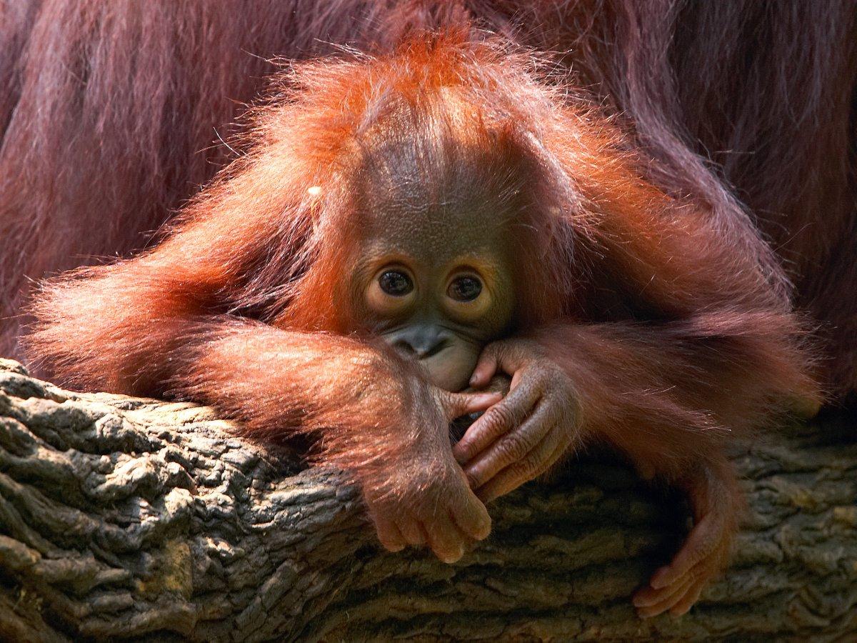 1. Калимантанский орангутан.