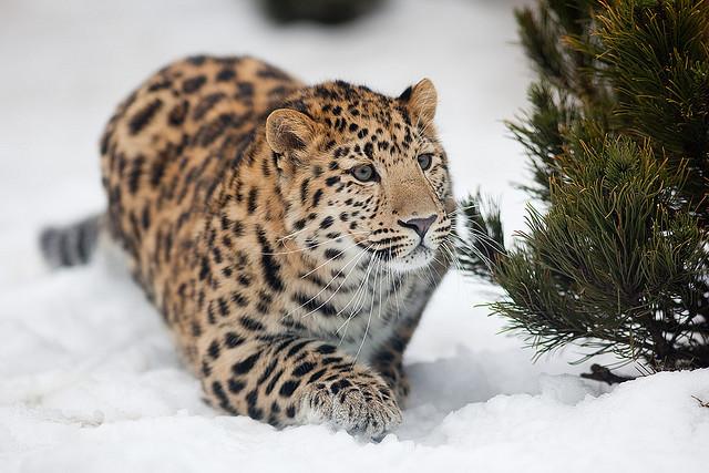 4. Дальневосточный леопард.