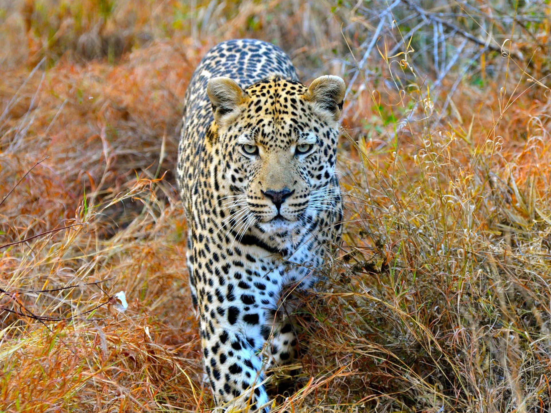 6. Леопарды – Южная Африка и Шри-Ланка.