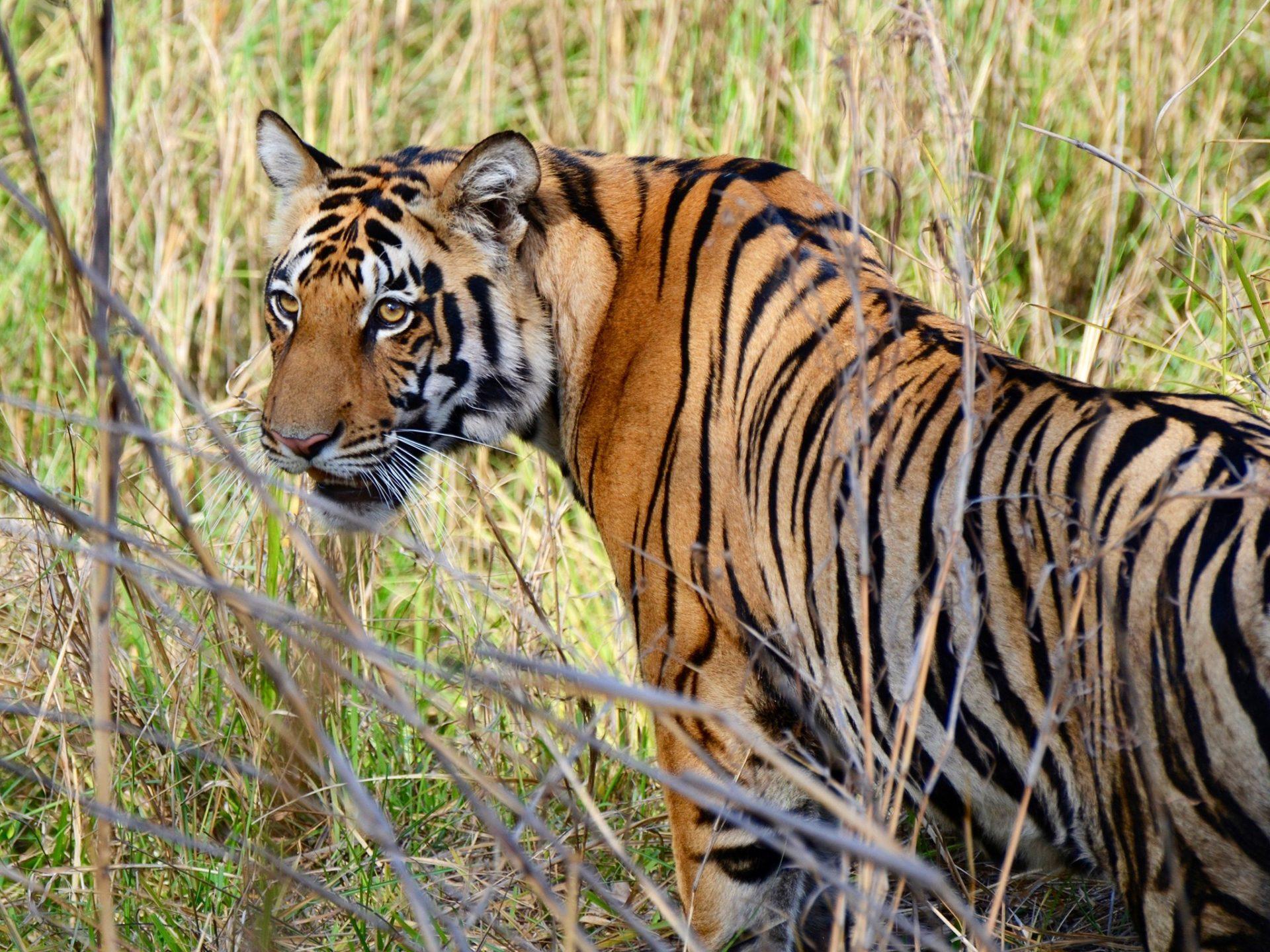 9. Бенгальский тигр – Индия.
