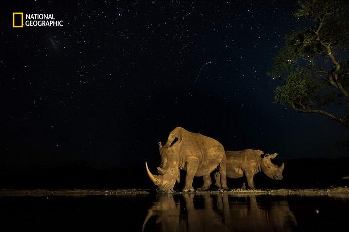 1. Бесценные (южноафриканские носороги, находящиеся на грани исчезновения).