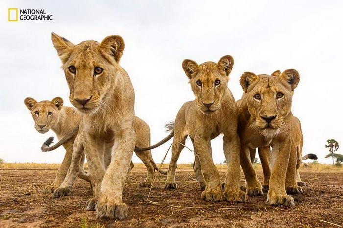 3. Любопытные львята.