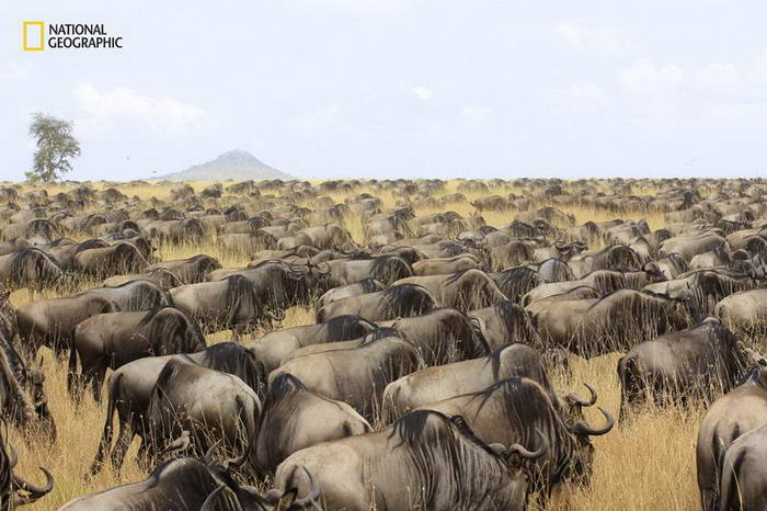 7. Миграция антилоп гну.