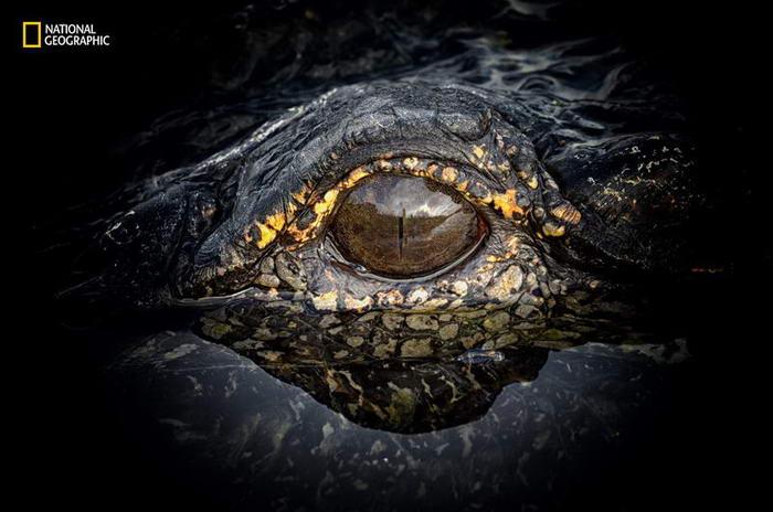 8. Глаз аллигатора.