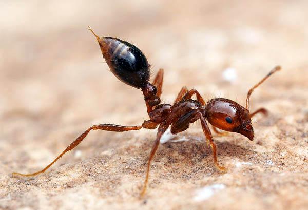 1. Красный огненный муравей. Уровень 1.