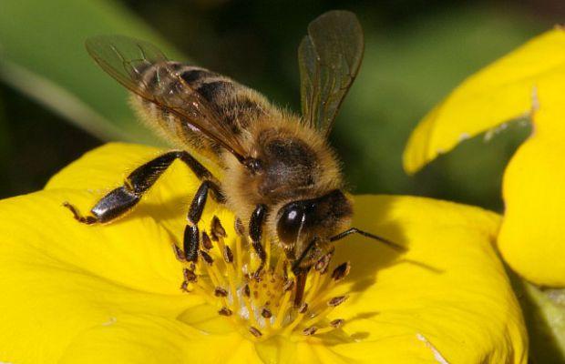 3. Медоносная пчела. Уровень 2. Укус пчелы вызовет неприятное жжение, но оно легко переносится, если у вас нет аллергии.