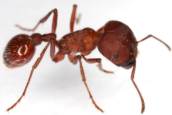 7. Флоридский муравей-жнец. Уровень 3.