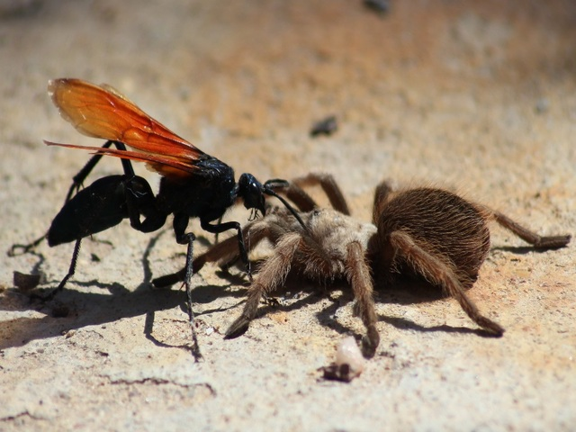 8. Pepsis. Уровнь 4. Укус этого охотника на пауков шокирующий, будто вас ударило током.