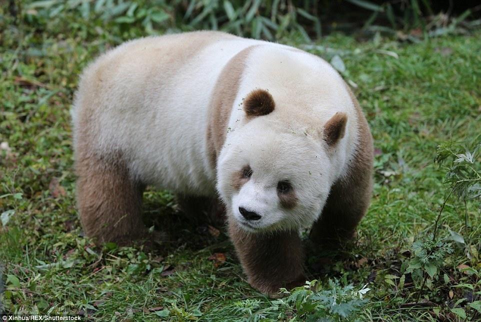 11. Сегодня в дикой природе обитает более 1800 панд. Охота, браконьерство и уничтожение лесов привели к сокращению их численности.