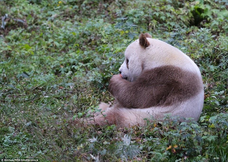 12. Количество коричневых панд в дикой природе – неизвестно.