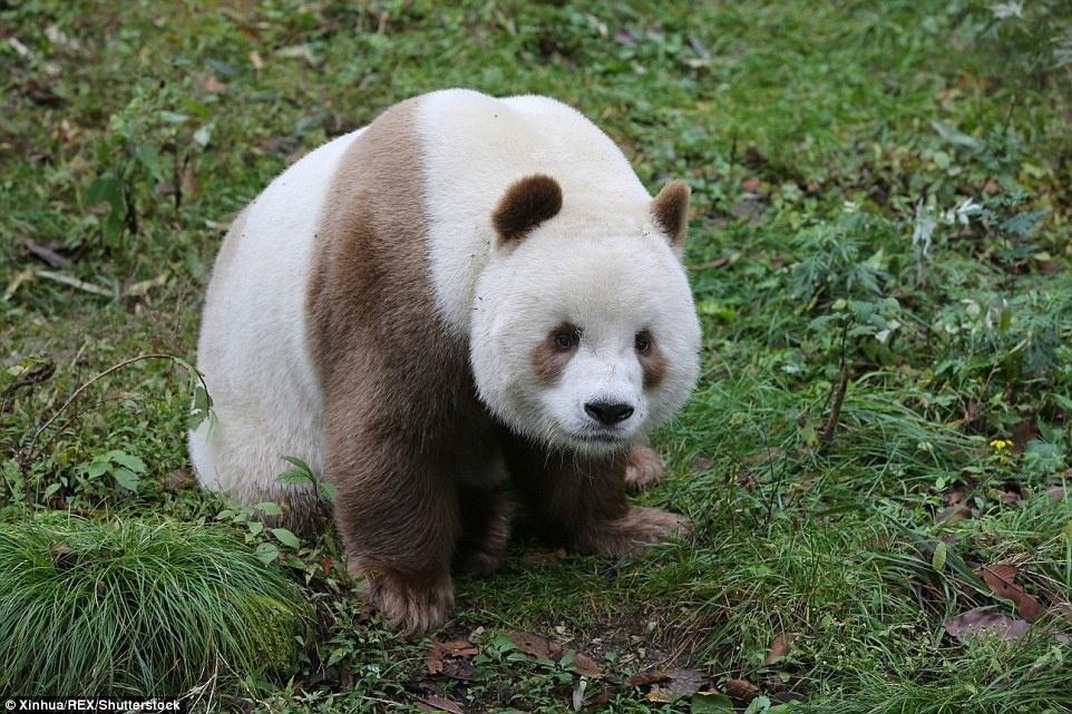 4. Как и обычные панды, Ци Цзайлюбит поесть бамбука.
