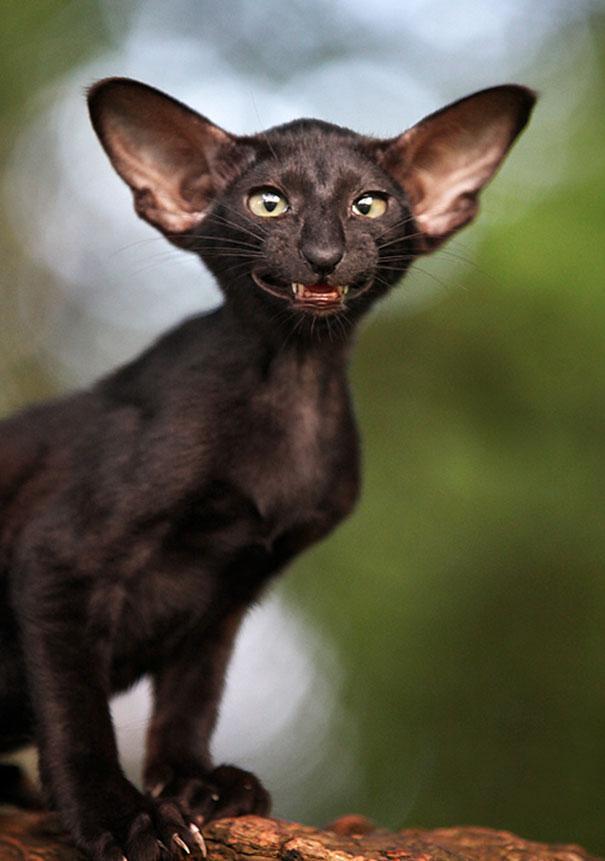 13. Бэт-кот.