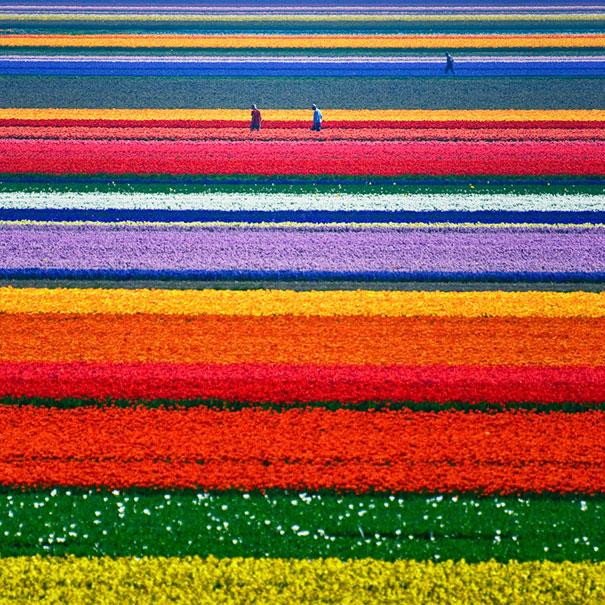 13. Тюльпановые поля в окрестностях Алкмара (Нидерланды).