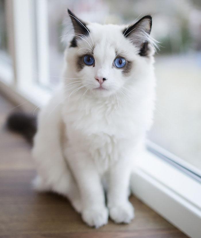 14. Кот с глазами цвета океана.
