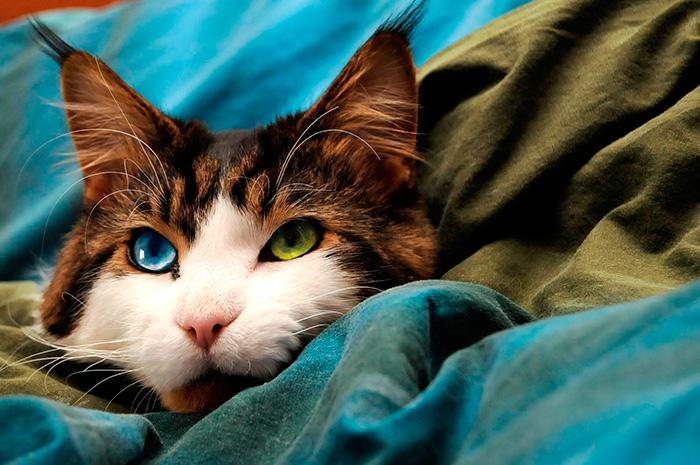 17. Шайенн, голубо-зеленоглазый мейн кун.