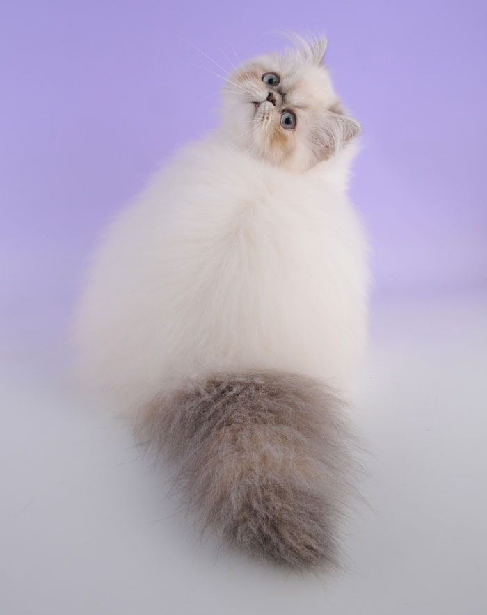 20. Гималайский кот.