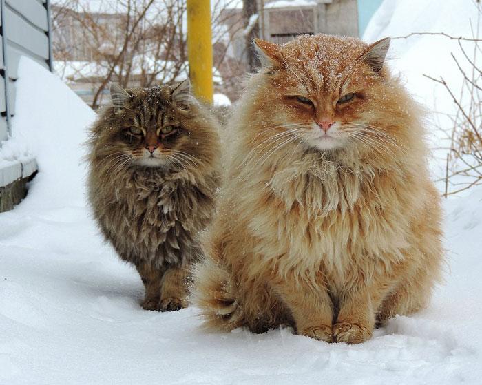 8. «Суровые» сибирские кошки.