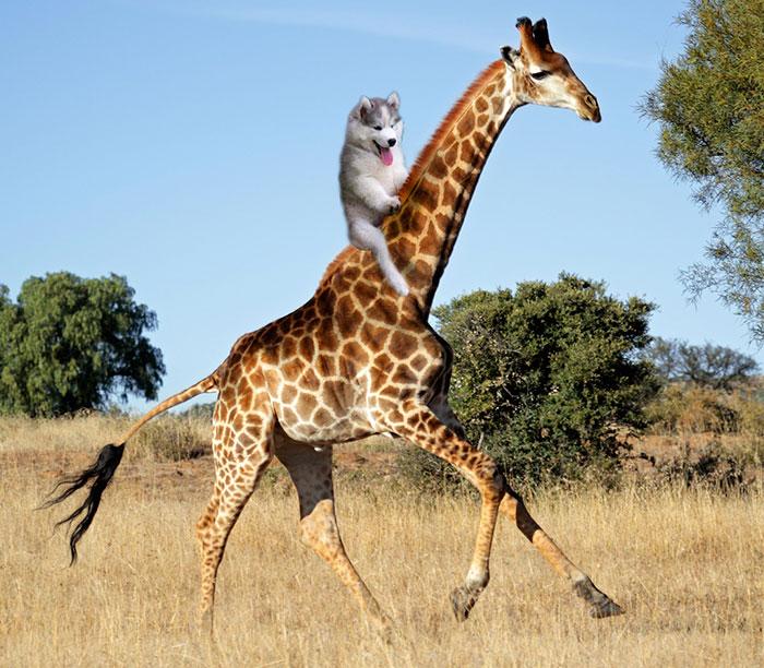 10. Верхом на жирафе.