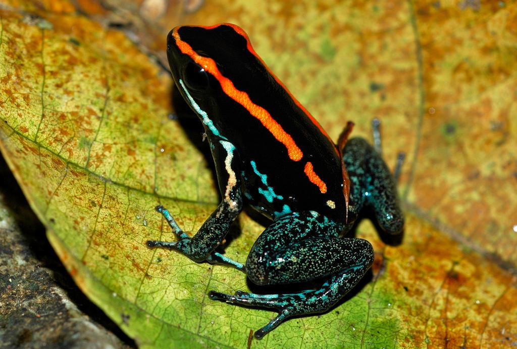 11. Полосатый листолаз. Яд этой лягушки может вызвать судороги и паралич. Но не бойтесь, ведь обитает она только на полуострове Оса на Коста-Рике.