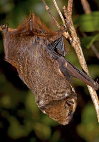 13. Гавайская пепельная летучая мышь. Из названия понятно, что найти ее можно только на Гавайях.