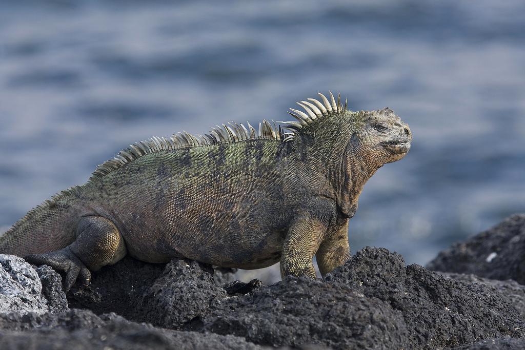 2. Морская игуана. Обитает только на Галапагосских островах.