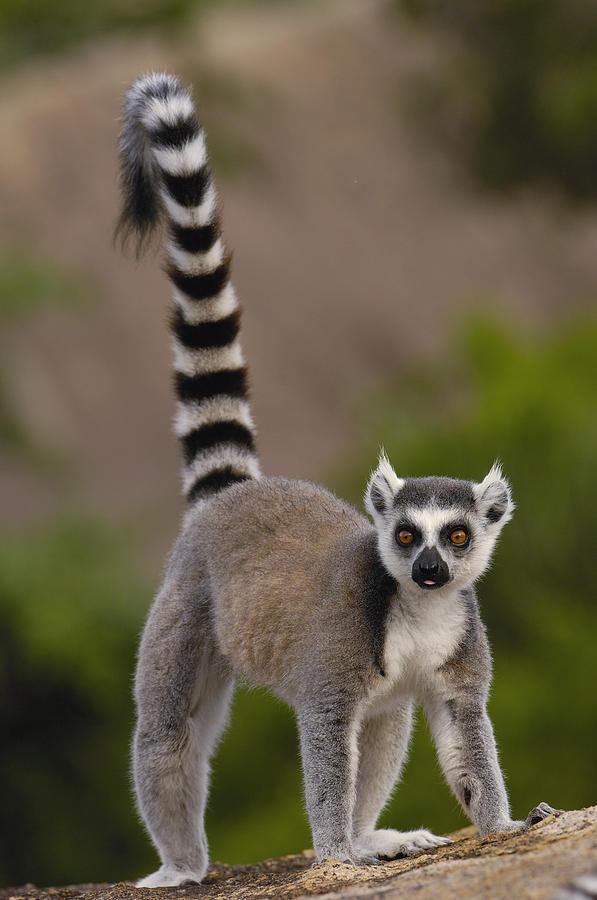 7. Кошачий лемур живет только на острове Мадагаскар.