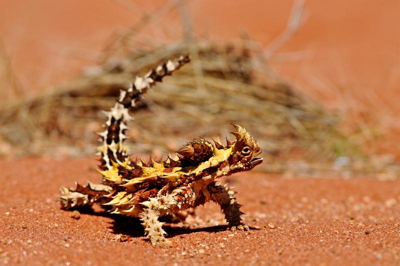 8. Молох или Тернистый Дракон. Эта безобидная ящерица, несмотря на свой устрашающий внешний вид. Встречается только в определенных частях Австралии.