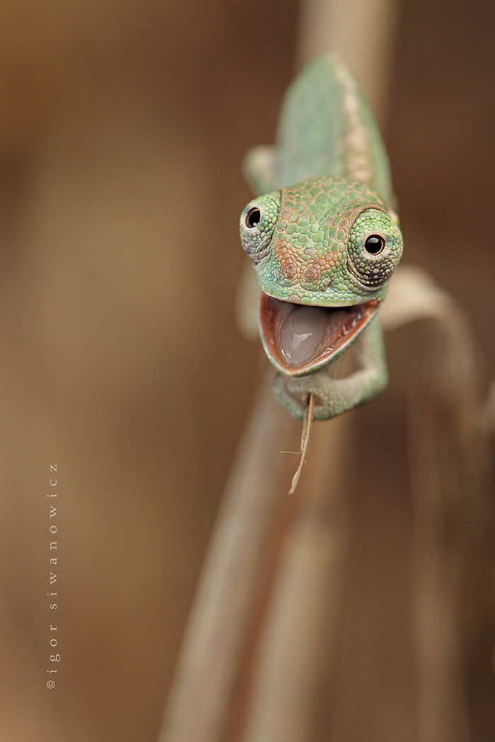 2. Счастливый хамелеон.
