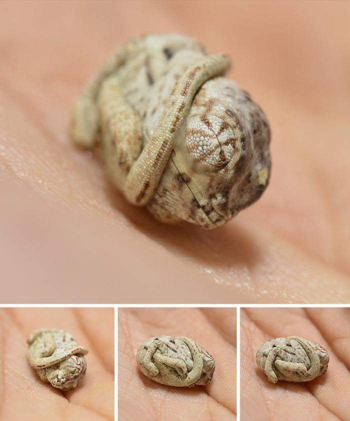 4. Новорожденный хамелеон
