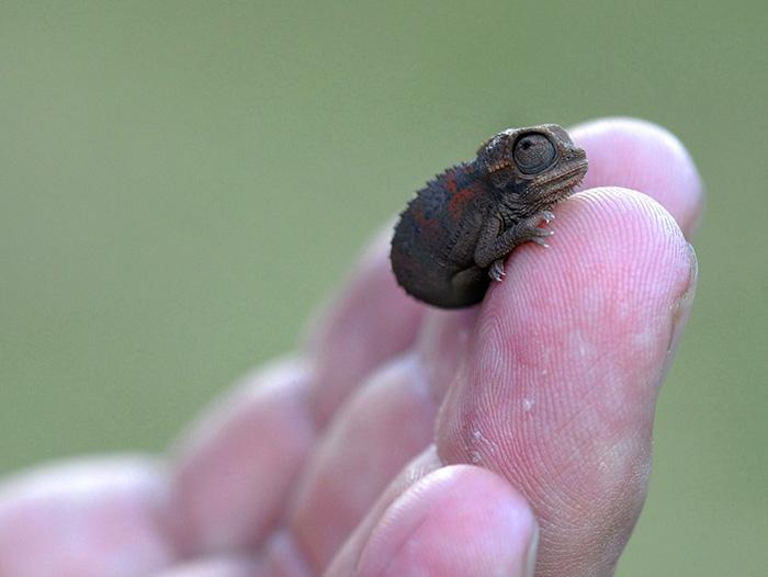 5. Крошечный хамелеон на пальце.