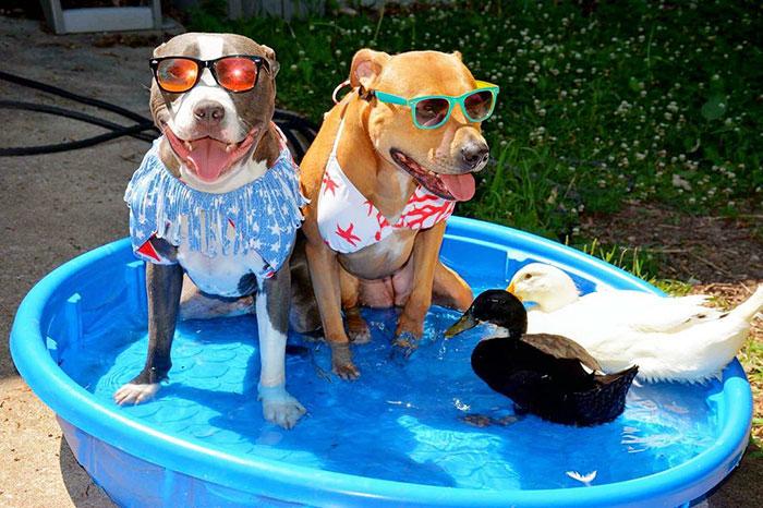 11. Рози (справа) была собакой из района с высоким уровнем преступности, где полицейские легко могут застрелить питбуля, если сочтут, что он представляет опасность.
