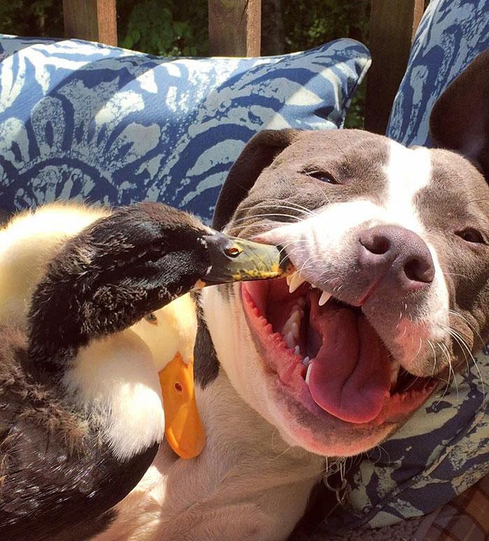3. Сейчас их семья насчитывает четыре собаки, кошку и две утки. И все они неотделимы друг от друга. Более того, они друг друга просто обожают.
