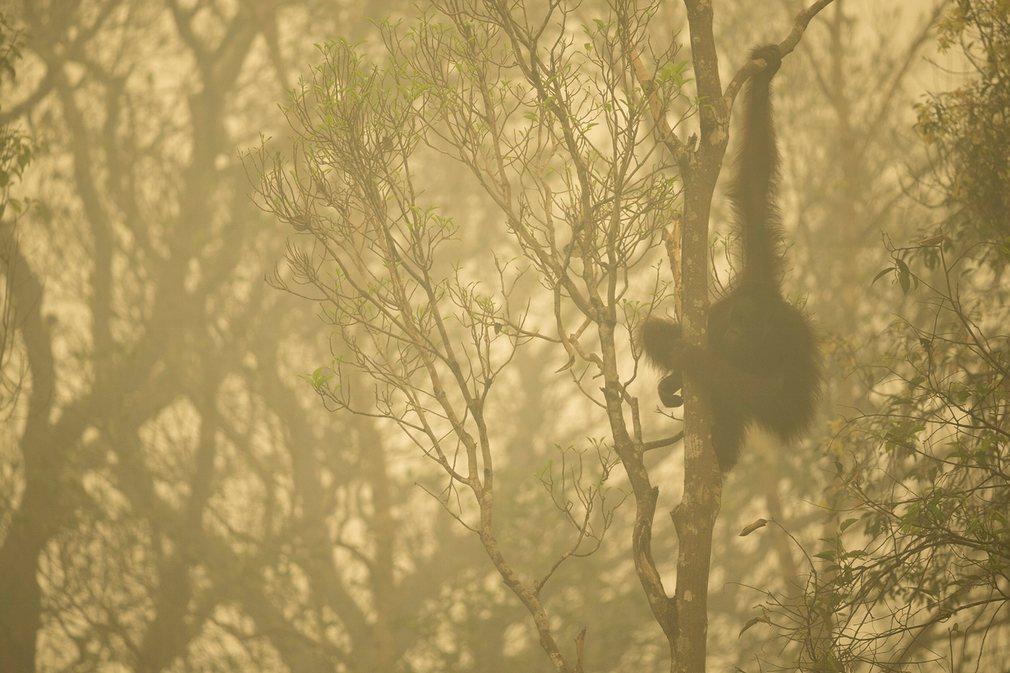 9. Орангутанг на Борнео. Фото: Тим Ламан. Конкурс World Press Photo.