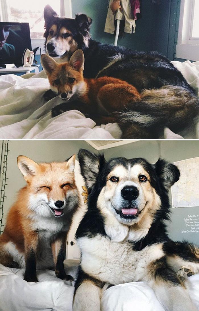 1. Лиса Джунипер и пес по кличке Мус.