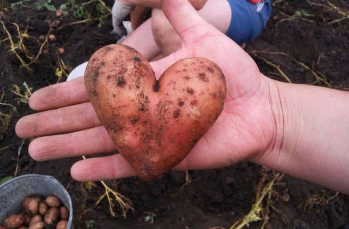 14. Сердце-картофель.