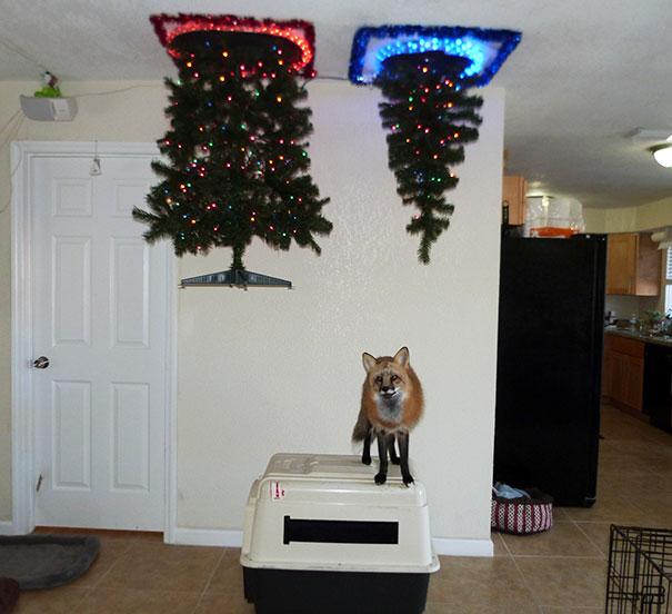1. Лучший способ защитить елку, прибить ее к потолку.